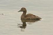 Eider, Somateria mollissima, female on sea, Sutherland, Highland.<br /> animal; animals; bird; birds; eiders; duck; ducks; nature;<br /> wildlife; adult; one; single; lone; alone; look; looking; watch;<br /> watching; swim; swimming; coastal; coast; Scotland; UK.;