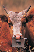 Cow with nose plate<br /> to stop nursing from mother<br /> Eastern Mongolia<br /> Mongolia
