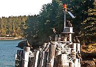Cormorants greeting arriving ferrys on Lopez Island in the San Juan Islands of Washington, USA