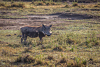 Warthog near Lake Nakuru, Kenya.