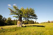 alter knorriger Baum, Hochschachten (ehemalige Weidefläche im Wald), Nationalpark Bayerischer Wald, Bayern, Deutschland | old gnarled tree, Hochschachten (former meadow in forest), national park Bavarian Forest, Bavaria, Germany
