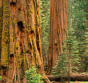 Giant Sequoias in the Mariposa Grove,Yosemite National Park, California