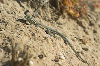 Male side-blotched lizard, Uta stansburiana, Red Rock Canyon State Park, California