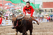 "03 OCTOBER 2009 -- CHONBURI, THAILAND: A ""jockey"" gets off his water buffalo down the track on the first day of races at the Chonburi Buffalo Races Festival, Saturday, Oct. 3. Contestants race water buffalo about 200 meters down a muddy straight away. The buffalo races in Chonburi first took place in 1912 for Thai King Rama VI. Now the races have evolved into a festival that marks the end of Buddhist Lent and is held on the first full moon of the 11th lunar month (either October or November). Thousands of people come to Chonburi, about 90 minutes from Bangkok, for the races and carnival midway.   PHOTO BY JACK KURTZ"