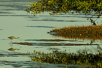 A Little Blue Heron (Egretta caerulea) foraging underneath a mangrove tree in the Orinoco River Delta, Venezuela.