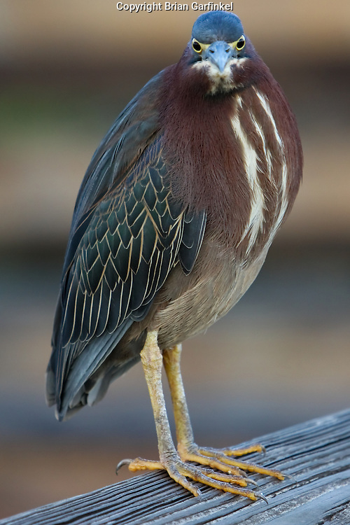 A Green Heron stands on a railing in Wakodahatchee wildlife preserve in Palm Beach County Florida