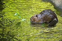 Beaver (Castor canadensis) munching on tender maple twigs
