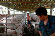 "Two farm hands clean the excrement in the pen where they keep pregnant sows at the Grand Canal Pig Farm in Jiaxing, Zhejiang Province, China on 04 August, 2011. The material will be used to produce Methane as well as fertilizer for the nearby rice farms. Pork is by far the most popular meat eaten in China, with its value deeply ingrained in the mind of the Chinese people. The importance of pork in the Chinese diet and the role of prices in affecting social stability are demonstrated by the establishment in 2007 by the central government of a ""strategic pork reserve"", the only one of its kind in the world."