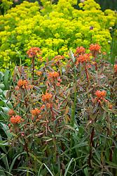 Euphorbia griffithii 'Fern Cottage' in front of Euphorbia palustris