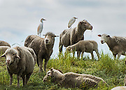 Snowy white egrets take a rest as they sit on top of sheep that were located next to the I-5 freeway near Elk Grove.
