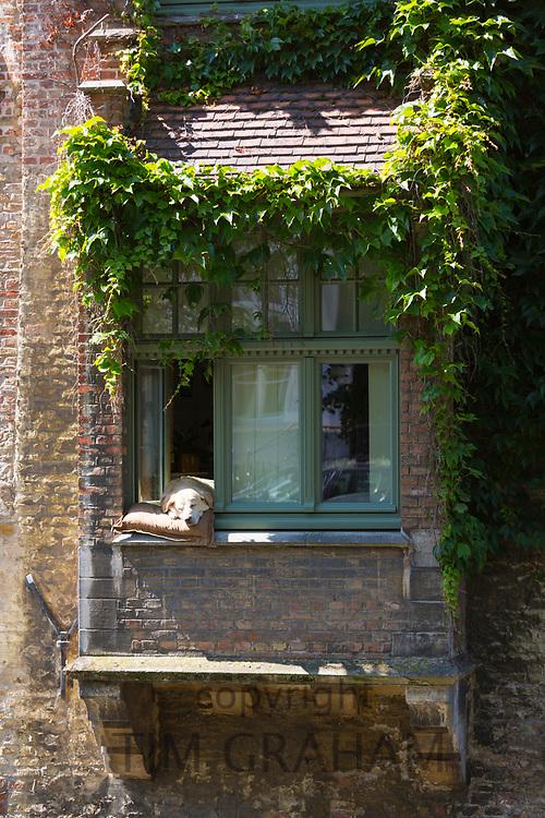 Labrador dog taking a siesta sleep by Groenerei (green Canal) in Bruges, Belgium