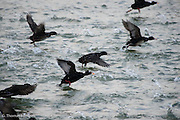 Something startled the group, causing them to run across the water, rapidly flapping their wings to take off.