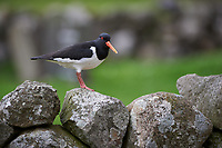 Oyster Catcher sitting on a rock wall.