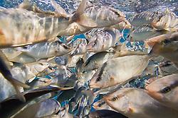 juvenile Kona Kampachi, Hawaiian yellowtail, aka almaco jack or kahala, Seriola rivoliana, inside open ocean fish pen, Kona Blue Water Farms, Big Island, Hawaii, USA, Pacific Ocean