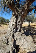 Israel, Southern Coastal Plains, Lachish Region, An old Olive tree