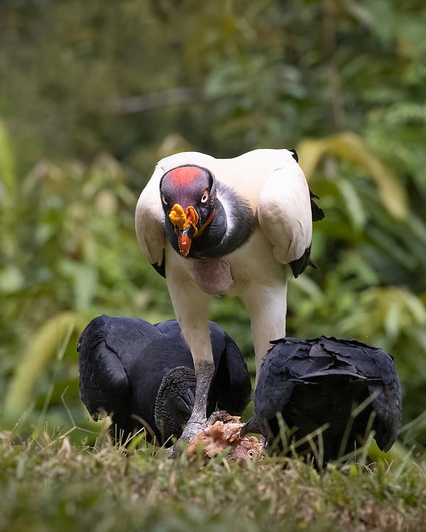 Sarcoramphus papa, <br /> Costa Rica, June 2021, <br /> Laguna Lagarto Lodge, also a few black vultures.