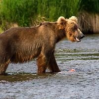 USA, Alaska, Katmai. Smiilng grizzly in river.