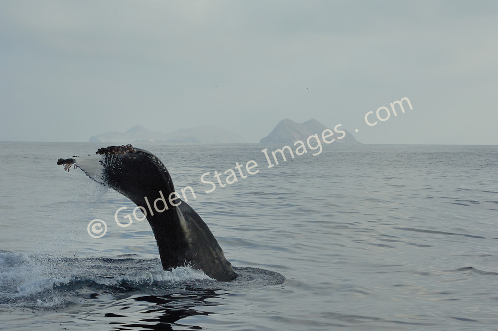 Humpback dives off North Coronado Island.    <br /> <br /> Range: Can be found nearly worldwide. In the Pacific from the Bering Sea to Southern Mexico and Hawaii. <br /> <br /> Species: Megaptera novaeangliae