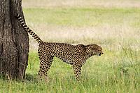 A Cheetah, Acinonyx jubatus jubatus, marks its territory by spraying a tree trunk in Maasai Mara National Reserve, Kenya