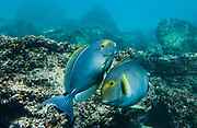 Purple surgeonfish (Acanthurus xanthopterus Valenciennes)<br /> off Gardner Bay, Española (Hood) Island, Galapagos Islands<br /> ECUADOR.  South America<br /> This species reach lengths of 61cm and are the largest surgeonfish in the Galapagos. Although they occur in lagoons they prefer seaward reefs where they are known at depths of 90meters. They aggregate into various-sized schools and graze on filamentous algae, on the filmy ooze of diatoms and detritus on sand.  They are not common in Galapagos although sporadically regionally abundant in certain localities such as Darwin Bay, Tower and Plazas.