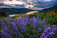 Wild lupine and yellow balsamroot wildflowers bloom on Rowena Crest in the Columbia River Gorge early on a Spring day.