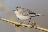 Lucy's Warbler - Vermivora luciae - male