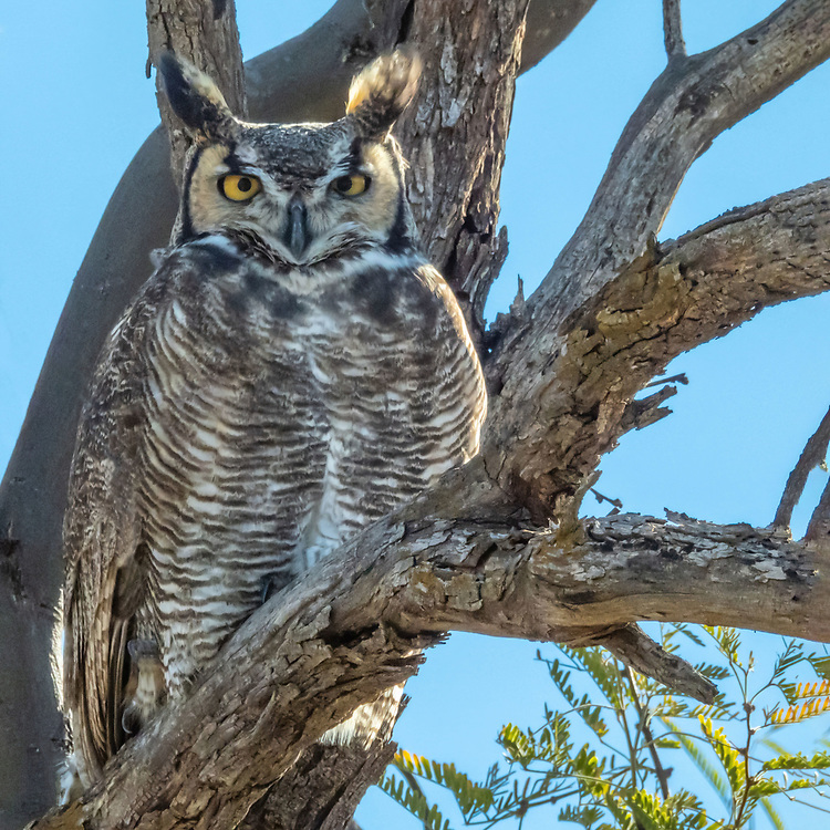 The Great Horned Owl was in the same tree as two ravens, and a Cooper's hawk who were harassing it. Tucson, Arizona
