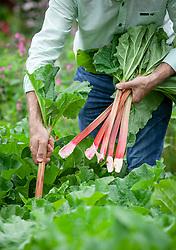 Harvesting rhubarb using the pull and twist method