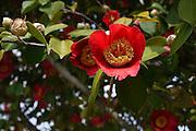 Japan, Honshu, Kyoto, Kiyomizu-Dera temple garden, Japanese Quince (Chaenomeles japonica) blossom