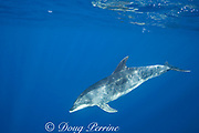 bottlenose dolphin, Tursiops truncatus, in open ocean, King Bank ( north of North Island ), New Zealand ( South Pacific Ocean )