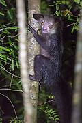 Aye-Aye (Daubentonia madagascariensis) in its natural habitat in Madagascar.