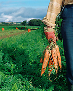 A farmer holds a bunch of organic carrots in a field at Newfields Organics, Fadmoor, North York Moors, North Yorkshire, UK