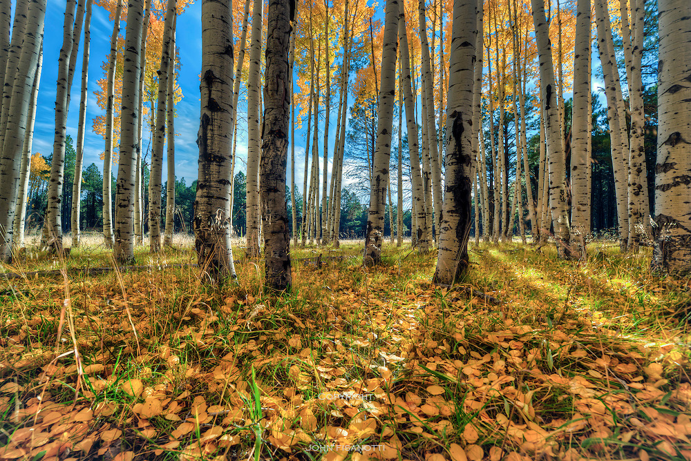 Fall in the Coconino National Forest, north of Flagstaff, AZ