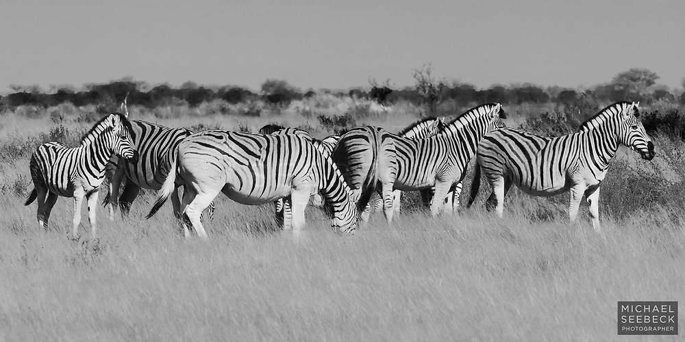 A family of zebras captured in Etosha National Park, Namibia.<br /> <br /> Code: BFNE0002<br /> <br /> Open Edition Print / Stock Image
