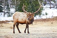 Bull elk in RMNP, March 2020