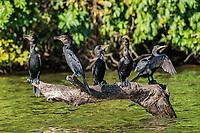 cormorants standing in branch in the peruvian Amazon jungle at Madre de Dios Peru