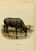 The African buffalo or Cape buffalo (Syncerus caffer Here as Bos caffer) colour illustration From the book ' Wild oxen, sheep & goats of all lands, living and extinct ' by Richard Lydekker (1849-1915) Published in 1898 by Rowland Ward, London