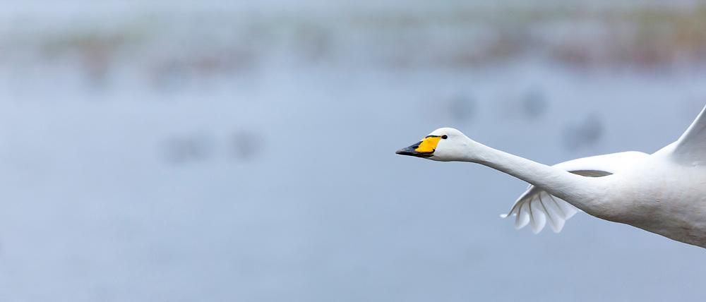Whooper Swan, Cygnus cygnus, in flight at Welney Wetland Centre, Norfolk, UK
