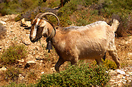 Goat herd on Ios, Cyclades Islands, Greece .<br /> <br /> Visit our GREEK HISTORIC PLACES PHOTO COLLECTIONS for more photos to download or buy as wall art prints https://funkystock.photoshelter.com/gallery-collection/Pictures-Images-of-Greece-Photos-of-Greek-Historic-Landmark-Sites/C0000w6e8OkknEb8