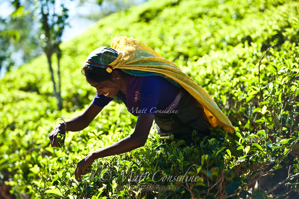 Picking tea in a sea of luminous green.<br /> (Photo by Matt Considine - Images of Asia Collection)