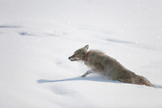 Coyote, Canis latrans, walking through deep snow wearing a radio tracking collar in Yellowstone National Park