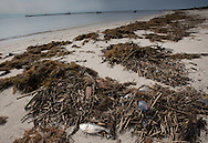 12/19/2015, Fish and Portuguese man-of-war entwined in globs of sargassum, a type of seaweedMississippi durring a month long fish kill event.  A red tide ( toxic algae growth)  was blaimed for a fish kill event that also killed many ducks and some mammals along beaches in Mississippi along the Gulf of Mexico that started at the deginning of December and continued through the end of the month. Warming tempatures caused by climate change,  make 'red tide' conditions a growing problem on the Gulf Coast.