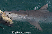 tiger shark ( Galeocerdo cuvier ) scavenging carcass of green sea turtle, Chelonia mydas, killed by native Torres Strait hunters, Mabuiag Island, Torres Straits, Queensland, Australia (de)