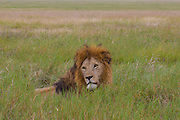 Male lion resting in the grass, Serengeti National Park, Tanzania