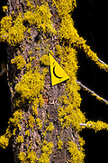 Yellow cross country ski marker on a moss-covered tree in the Giant Forest, Sequoia National Park, California