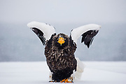 A Steller's sea eagle (Haliaeetus pelagius) in a snow storm preparing to take off, Raisa, Hokkaido, Japan