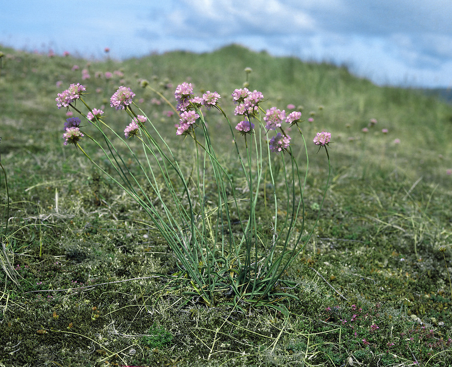 JERSEY THRIFT Armeria arenaria (Height to 30cm) is similar to Thrift but has far fewer leaves and the pink flower heads are borne on more slender stalks (May-Jul). It grows on dry ground and, in our region, is entirely restricted to coastal dunes on Jersey.