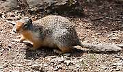 The Columbian ground squirrel (Urocitellus columbianus) is a species of rodent in the Sciuridae family. Hike the Garden Wall trail from Logan Pass in Glacier National Park, Montana, USA.