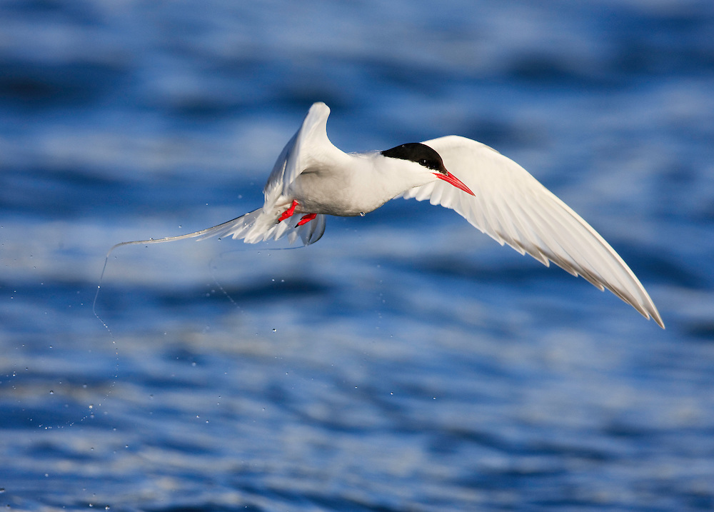 Arctic Tern, Sterna paradisea, Spitsbergen, Svalbard