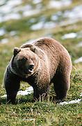 Alaska . Ursus Arctos . Denali National Park . Grizzly bear in tundra .